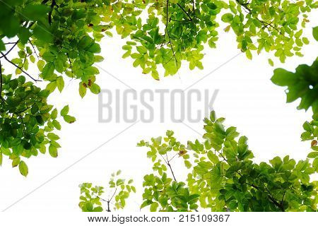 Top view a tropical green leaves with branches with white sky and foliage green background