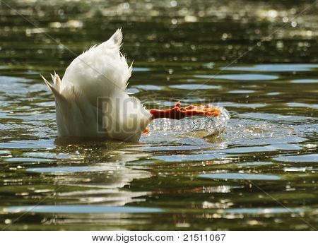 duck diving with head under water surface poster