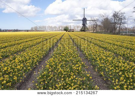 Yellow daffodil fields and a windmill at Lisse nearby Keukenhof the tulip garden Netherlands