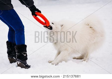 White dog samoyed playing with the mistress in the winter in the yard