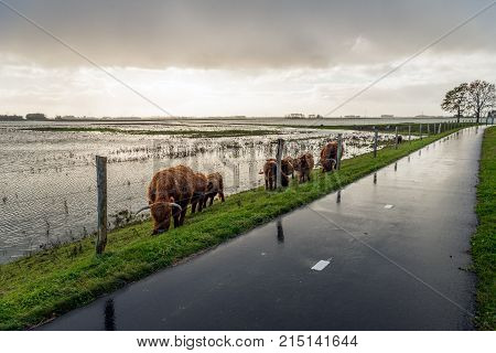 Highland cows grazing behind a fence on the of an embankment because the polder has largely been flooded with water. It is a wet and cloudy day in the Dutch fall season.
