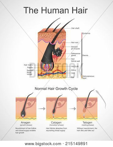 Hair follows a specific growth cycle with three distinct and concurrent phases anagen, catagen, and telogen phases. Each phase has specific characteristics that determine the length of the hair. Anatomy body human. Illustration.