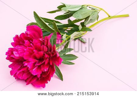 Red peony flower with leaves on stem. Studio Photo
