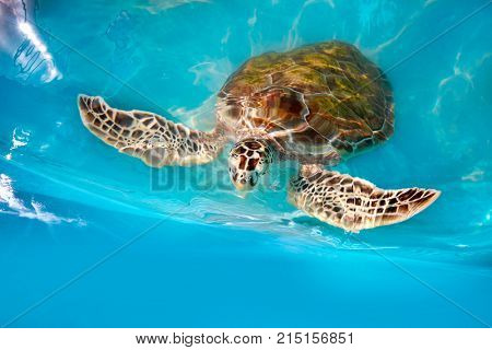 Turtles photomount in Caribbean water turquoise of Mexico