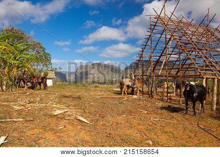 Famous Cuba farmland tobacco area Valley de Vinales Pinar del Rio Cuba.Traditional drying shed tobacco plantation.