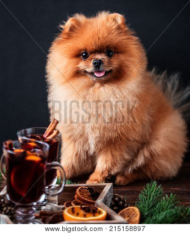 Pomeranian dog in Christmas decorations and with a glass of mulled wine. A dog with a glass of mulled wine