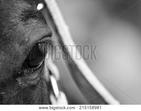 Details of a horse's eye in black and white