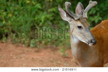 Young Buck Deer