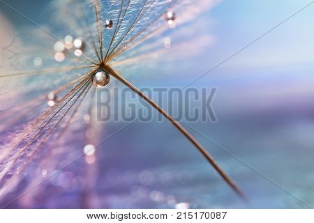A drop of water. A beautiful macro dandelion with a drop of water. Selective focus.