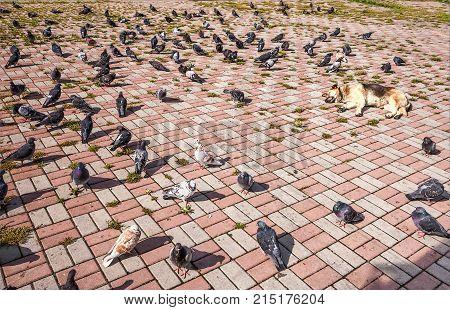 A flock of pigeons walks and feeds near a dog sleeping in the sun. Summer season.
