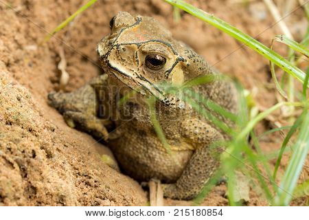 Toad hibernate. in asian tropical Thailand. Toad.