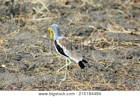African Wattled Lapwing (Vanellus senegallus) also known as Senegal wattled plover on the dry arid bank in south luangwa zambia
