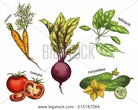 Sketches of organic and natural vegetables. Set of isolated carrot and tomato, sliced cucumber and beetroot, spinach. Healthy nutrition and vegan market, salad ingredient and grocery shop, store theme