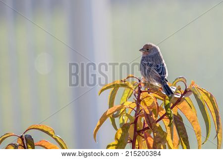 brown and yellow striped female house finch flies to perch on a fruit tree