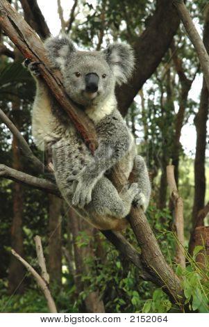 Australian Koala Sitting On A Tree.