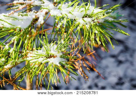 Branch of a coniferous spruce snowy in the morning. Details of the winter forest. The nature of coniferous trees.
