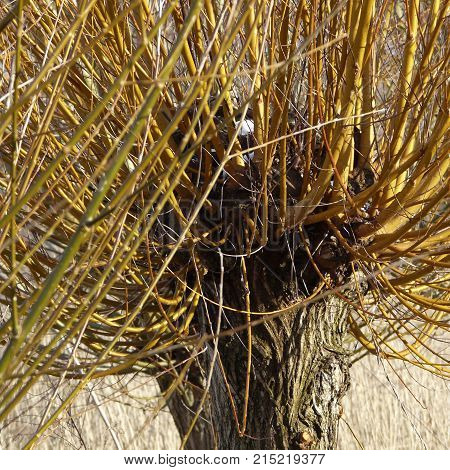 The head of a basket willow Salix viminalis in early spring. The pollard willows are cut every two to three years in autumn the rods are processed by basket makers.
