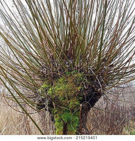 The head of a basket willow Salix viminalis in November. The pollard willows are cut every two to three years in autumn the rods are processed by basket makers.