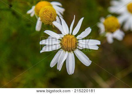 Chamomile (latin Matricаria) - A Genus Of Perennial Flowering Plants