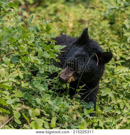 Black Bear Munches On Plants In Summer