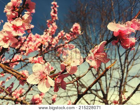 Cherry tree branch bud bud in bloom background as a beautiful spring flower blooming season concept
