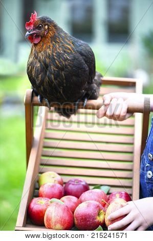 free range chicken looking at apples while playing with a child on a smallholding green grass in the background for text overlay