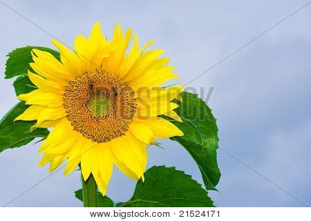 Sunflower picture against blue sky