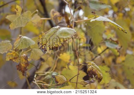 At the end of the season & after grape picking the vine leaves begin to yellow. A closeup of grape leaves turning yellow in the autumn