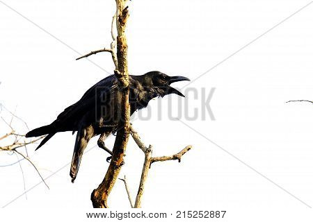 A single back raven sitting on the dead tree branch and shouting out with white sky background at the park