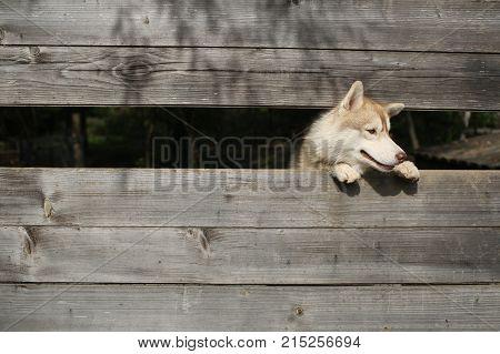 Year of dog holiday celebration. Husky or wolf at wooden background copy space. Pet and animal Siberian husky dog year. New year christmas xmas. Zoo shelter farm or captivity.