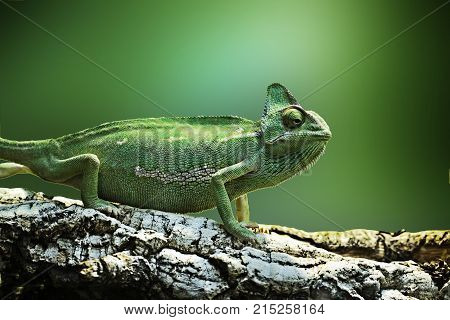 Chameleon exotic nature reptile isolated green background animal
