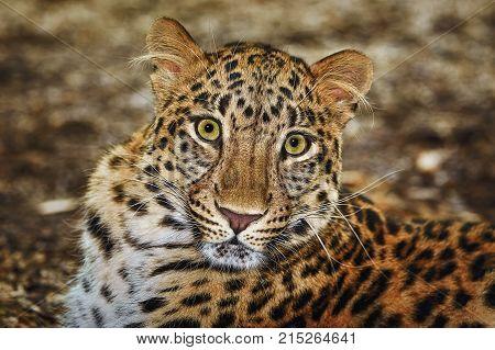 Closeup Portrait of Leopard ( Panthera Pardus)