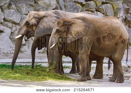 Elephants Eating Grass