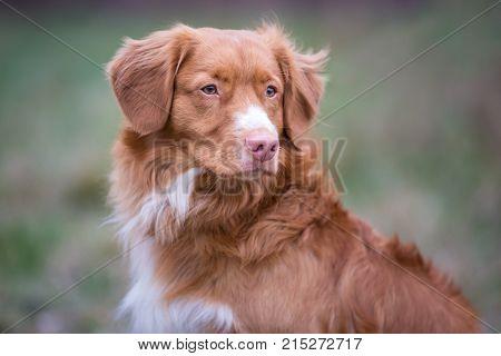 Portrait of dog breed Nova Scotia Duck Tolling Retriever