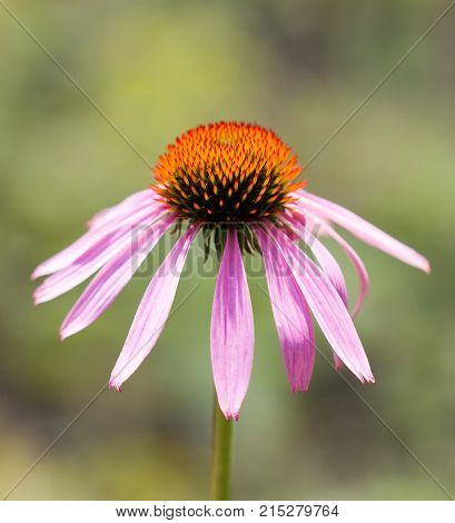 Coneflower closeup over green foliage . In the park in nature