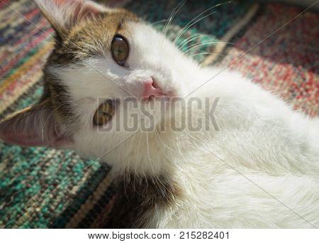 Kitten portrait. Young cat. Cute cat. Yellow eyes cat. Kitten portrait.  Cute kitty. Yellow eyes kitty. Kitten. Kitty. Yellow-eyed cat.