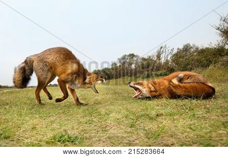 Two red foxes attacking each other and fighting over a territory trying to bite.