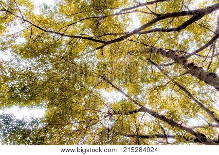 Sunlight Through The Leaves Of Big Banyan Trees