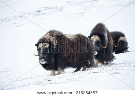 A group of male musk ox in the mountains in winter, Norway.