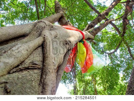 The Worship With Colored Ribbons At The Holy Banyan Tree