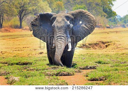 African Elephant with ears flapping standing in a lagoon feeding with a natural vibrant bushveld background