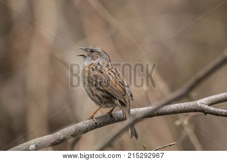 Dunnock Perched On The Branch Of A Tree In A Forest, Tweeting