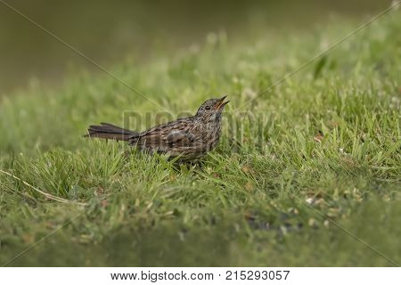 Dunnock on the grass tweeting in a back garden