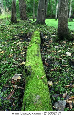 Moss covered log in a dense forested wetland of Illinois