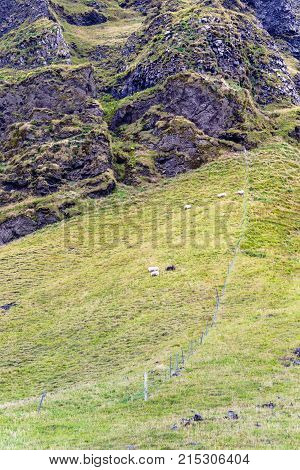Icelandic Sheep On Mountain Field In Iceland