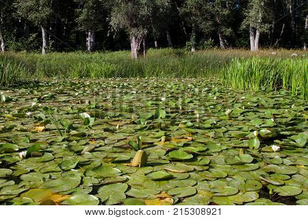 Dense thickets of a water lily on a summer day.