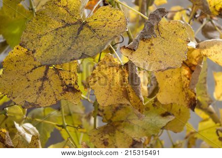 A closeup of grape leaves turning yellow in the autumn. Grape plant with yellow leaves