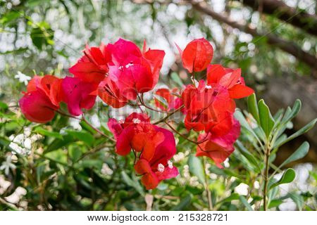 Bougainvillea Spanish pink flower, nature in Spain poster