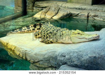 Golden crocodile is hybrid of Saltwater and Siamese Crocodiles.