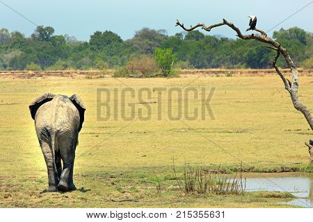 Rear end of an african elephant on the african plains with a fish eagle perched in a bare tree in South Lunagwa National Park Zambia
